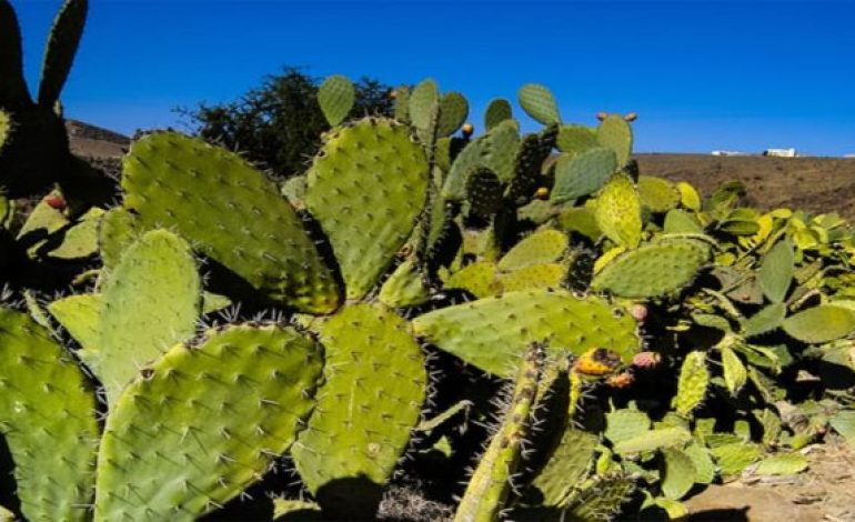 Agriculture Ministry devotes MAD 80 million to protect cacti from bugs