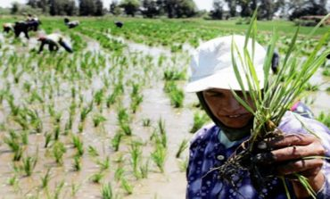 Reducing rice cultivation in Egypt: A controversy
