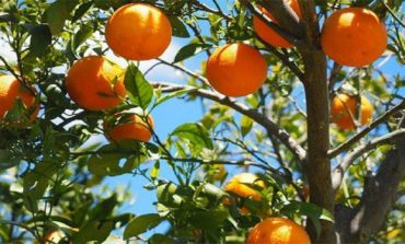 Egypt's orange exports to rise 7% in FY18/19