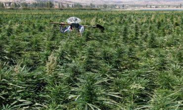 Lebanese cannabis farmers hope legalisation may bring amnesty